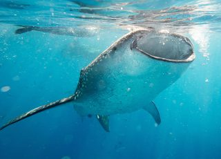 Swim with the whale sharks, a Mexican Caribbean summer trip highlight
